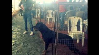 Rottweiler Ready for Action- Dog Show Cochin-2016