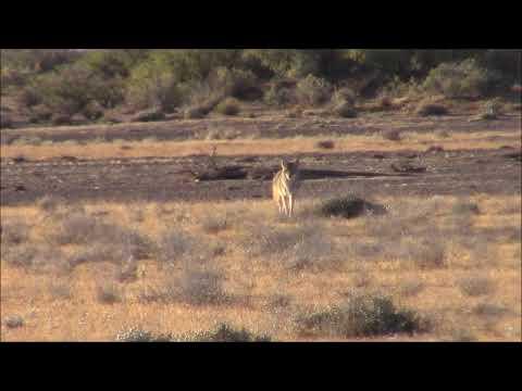 NM Coyote Hunting- Yote'n Outdoor Adventures Ep. 1