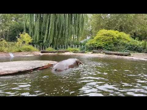 Playing hippopotamus