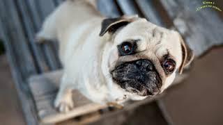 ТОП 10 САМЫХ лучших собак для квартиры