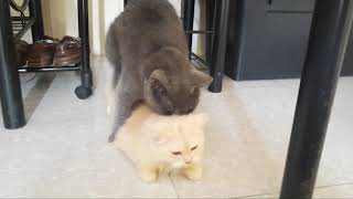 How Persian Cats mate? | First Mating