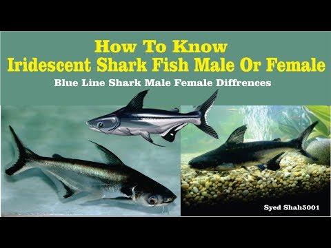 Iridescent Shark Fish Male Female Differences Hindi Urdu English Sub