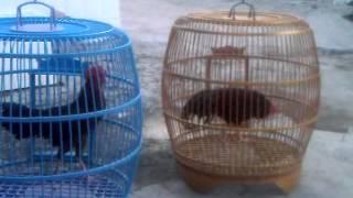 ayam bekisar,,, Merdunya suara Hanoman dan Khrisna sampang milik Bapak Syafriwanto