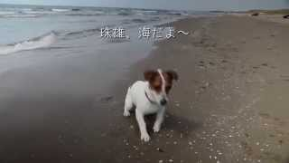 http://www.jacktamao.net 川も好きだけど海も大好き! Jack Russell Te...