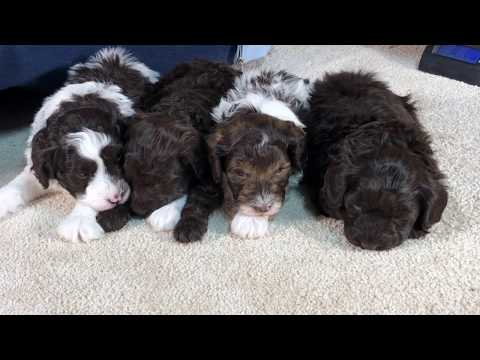 Gingers schnoodle puppies November 25, 2019