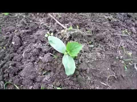 Вопрос: Как сажать огурцы рассадой или семенами в грунт?