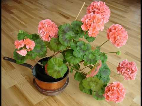 Герань – особое растение, можно получить и пользу, и вред