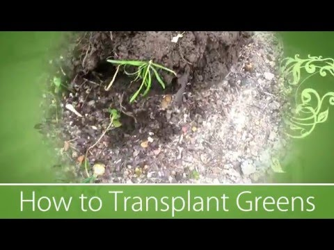 How To Transplant Greens - Organic Garden ❦
