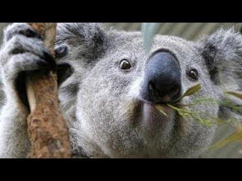 Amazing Animals Wild Life Of Koalas - Secret National Geographic Full Documentary