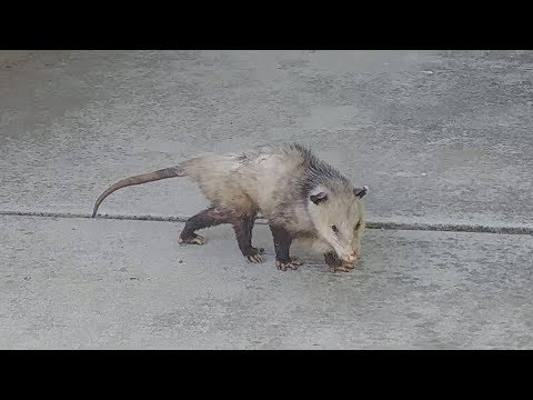 Possum Playing Dead - No Ads