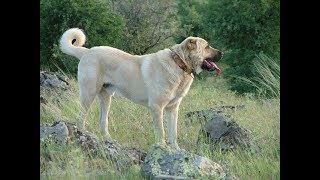 Perro Asesino Kangal