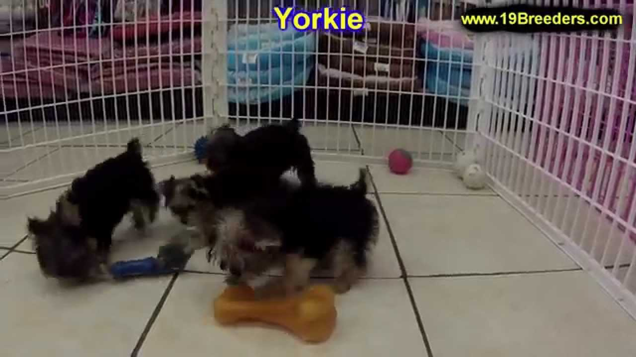 Yorkie Puppies For Sale In Springfield Missouri Mo St