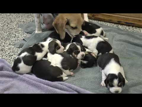 Beagle Puppies for Sale from www.dyerfarms.com