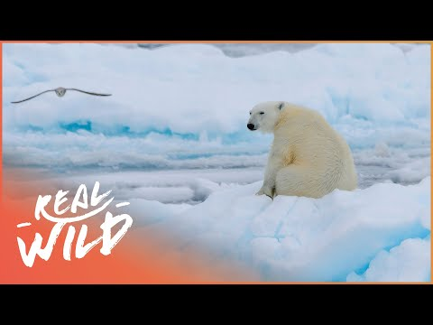 In Isolation With Polar Bears [Polar Bear Documentary] | Wild Things