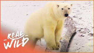The polar bear is practically an ideal murder machine
