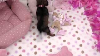 Teacup Maltese Teacup Yorkie Teacup Pomeranian Teacup Poodle3