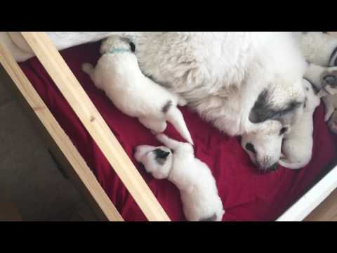Pyrenean Mountain Dog Puppies, feeding time