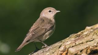 Голоса птиц. Славка садовая (Sylvia borin)
