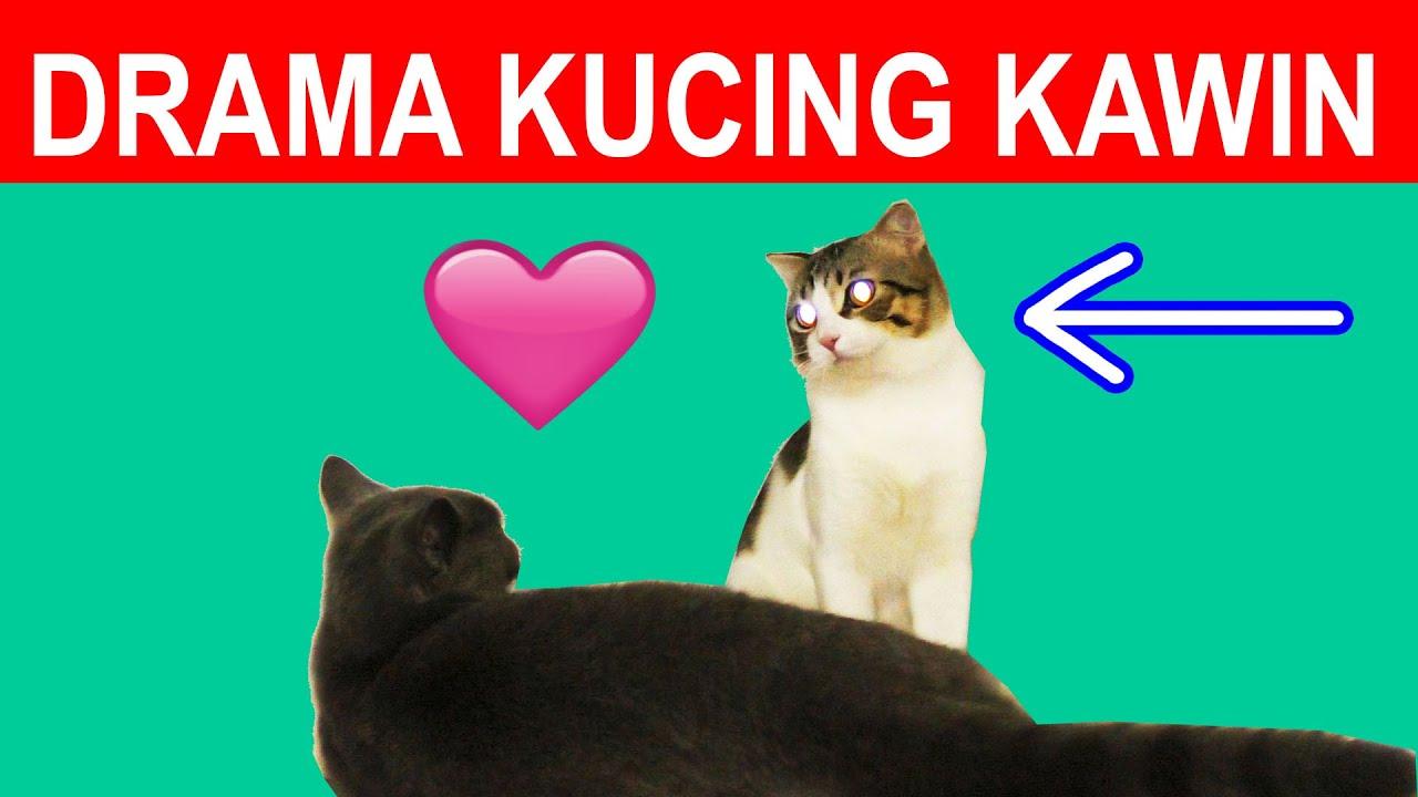 LUCU BANGET DRAMA KUCING KAWIN TAPI DI TOLAK