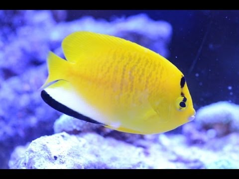 Care For Flagfin Angelfish Apolemichthys Trimaculatus 藍咀