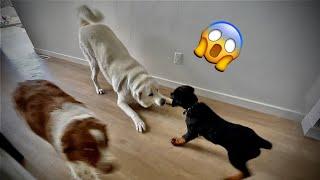 12 Week Rottweiler puppy vs Great Pyrenese / Akbash Dog