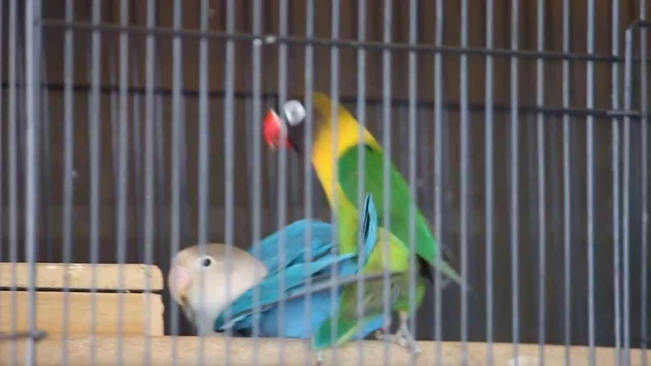 kawin lovebird ijo dakocan ori x blue   youtube