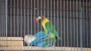"Kawin "" LOVEBIRD "" Ijo Dakocan Ori x Blue"