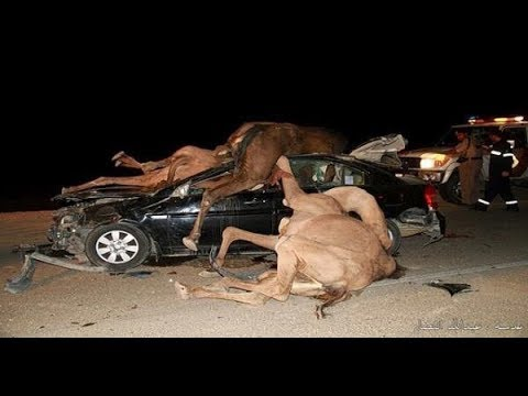 شاهد..حادث مأساوي مع جمال سائبة على طريق العقير بالاحساء thumbnail