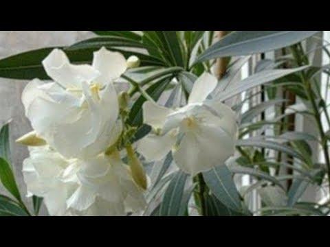 Цветок олеандр: выращивание и уход в домашних условиях.