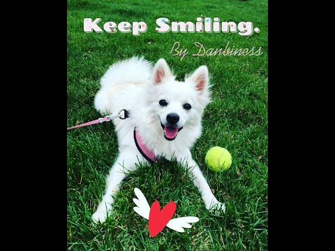 Happy Dog Running and playing on the grass, Fetch ! / Japanese Spitz Danbi