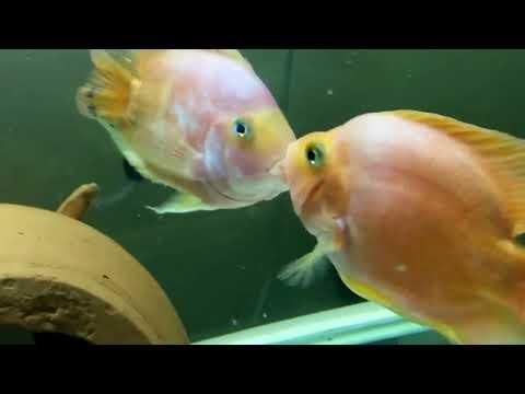 Parrot Fish Lip Lock Kiss Fighting HD Video