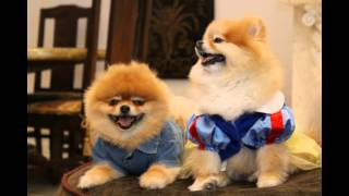 The 4 Sweetest And Happiest Pomeranian Sister - Picture Perfect: Honey,biscuit,coco&peanut.
