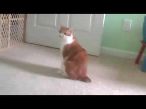 My Manx cat