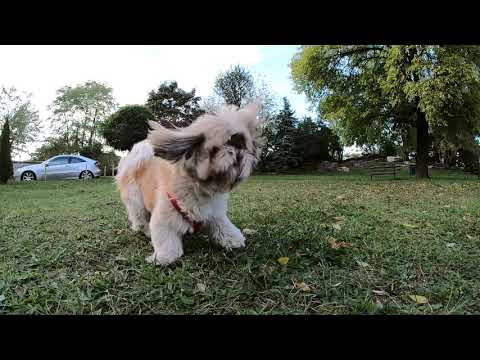 Shih Tzu in slowmotion (1080/240fps by GoPro Hero 7 black)
