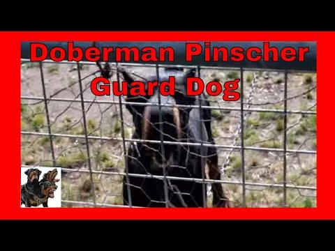 Top Dog-Kennel yard Doberman Pinscher, guard dog.