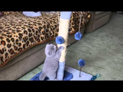 Шотландский вислоухий котенок играет с когтеточкой :)