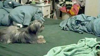 "Emma The Shih Tzu ""puppy Zoomies"""