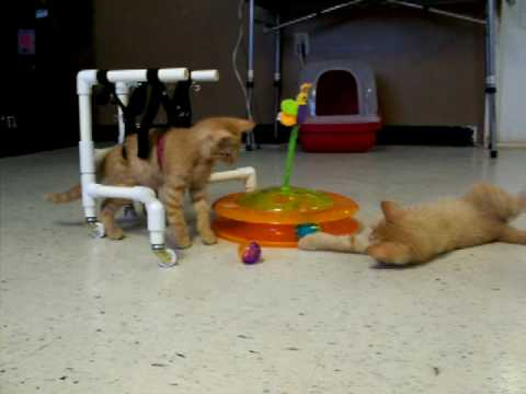 wheelchair for cats restaurant chairs sale cat day 2 exploring a toy youtube