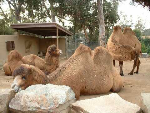 Are zoos that keep camels cruel? :: Watch and see... جمل
