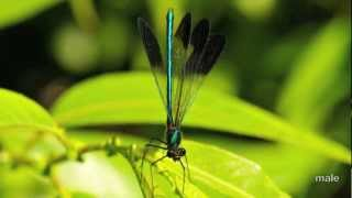 River Jewelwings (slideshow), by The Dragonfly Whisperer