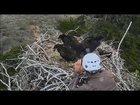 Sauces Channel Islands Eagle Cam ~ Banding...