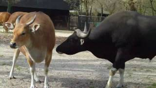 Repeat youtube video Banteng Bull and Cow -  Tierpark Hellabrunn - Munich Zoo