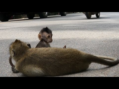 Thumbnail: How young monkey drag baby cross the road
