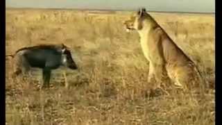 Lợn lòi tấn công sư tử - Cười đau cả ruột ^_^