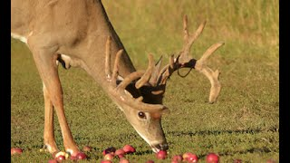 How to Plant Fruit Trees for Better Deer Hunting