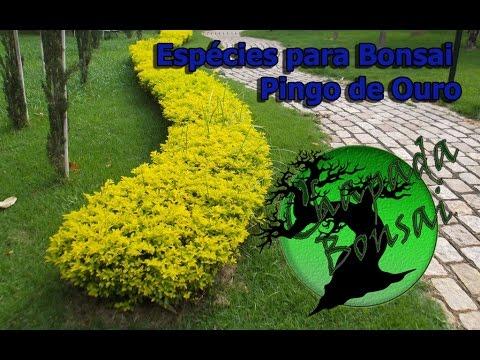 Espécies para Bonsai - Pingo de ouro