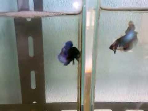 ปลากัดหูช้าง 01