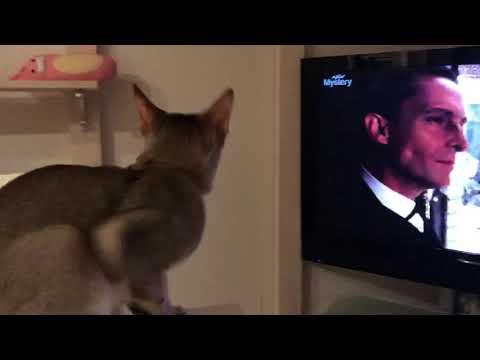 シャーロックホームズを観るじゅにさん Singapura cat watch the Sherlock Holmes