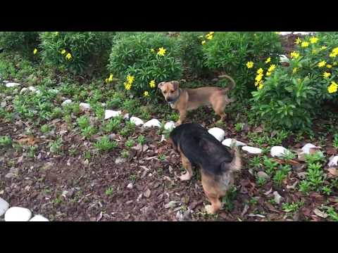 Puppy playing with Dog