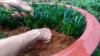 Kỹ thuật giâm cành cây vạn niên tùng la hán